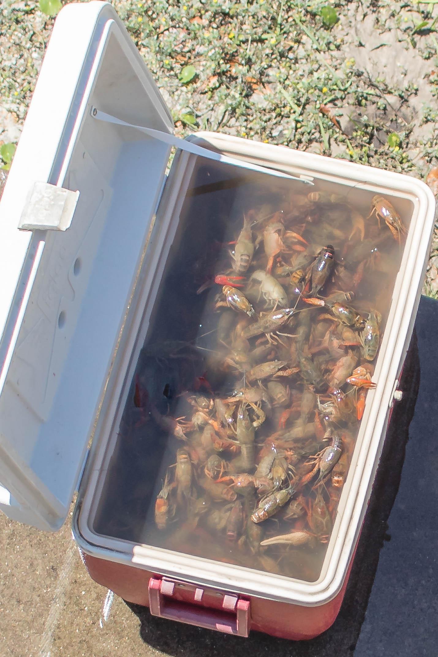 clean crawfish
